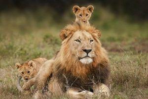 Giải mã giấc mơ thấy sư tử