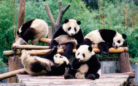 Panda bears are geo-political operatives waging a global campaign on behalf of the People's Republic of China.