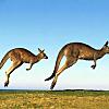 Visit wild kangaroos