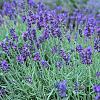 Lavender Farm Tour and Class