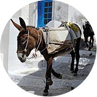 Mule ride up the Caldera