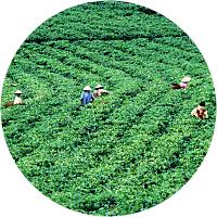 Tour through tea farms