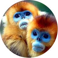 Trekking to See the Golden Monkeys in Rwanda