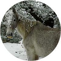 Snow pony trekking