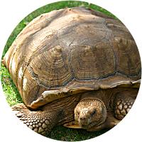 Pet a giant tortoise