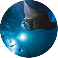 Manta ray night dive/snorkel