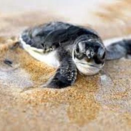 Volunteer Turtle Patrol!