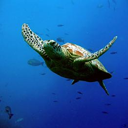 Snorkeling with Sea Turtles at Poi'pu Beach