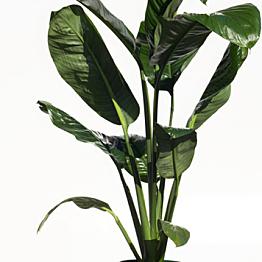 Potted Sensation Plant
