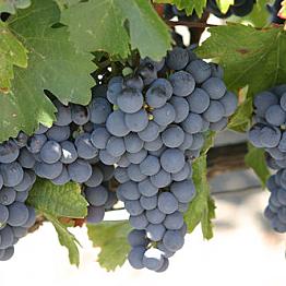 Vineyard Tours/Wine Tastings