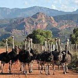 Oudtshoorn Ostrich Farm Tour