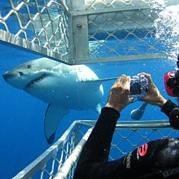 Great White Shark Dive