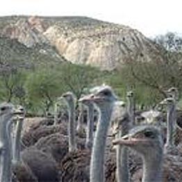 Cango Ostrich Farm Adventures!
