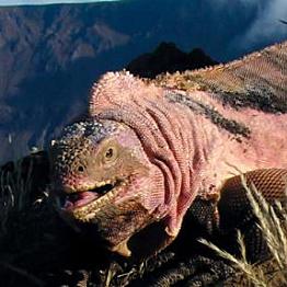 See the iguanas at Isabela Island