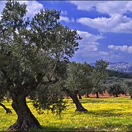 Siran Olive Grove