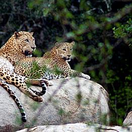 Leopard Trail Safari at Yala National Park