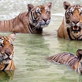 Tiger Temple Tour