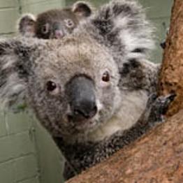 Koala Breakfast