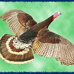 Fly like a Turkey