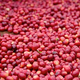 Visiting a coffee farm