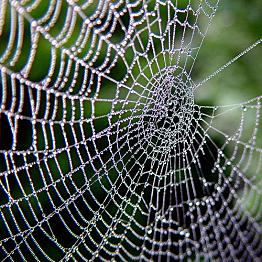 Spider repellant