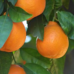 Minneola Tangelo Tree - Minneola Tangelo Baum