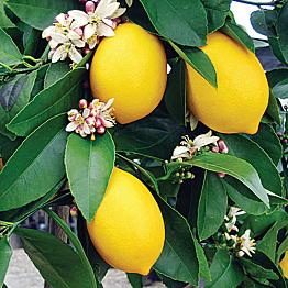 Lemon Tree - Zitronenbaum