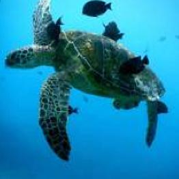 Snorkeling with Hawaiian Sea Turtles