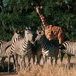 Early Morning Safari