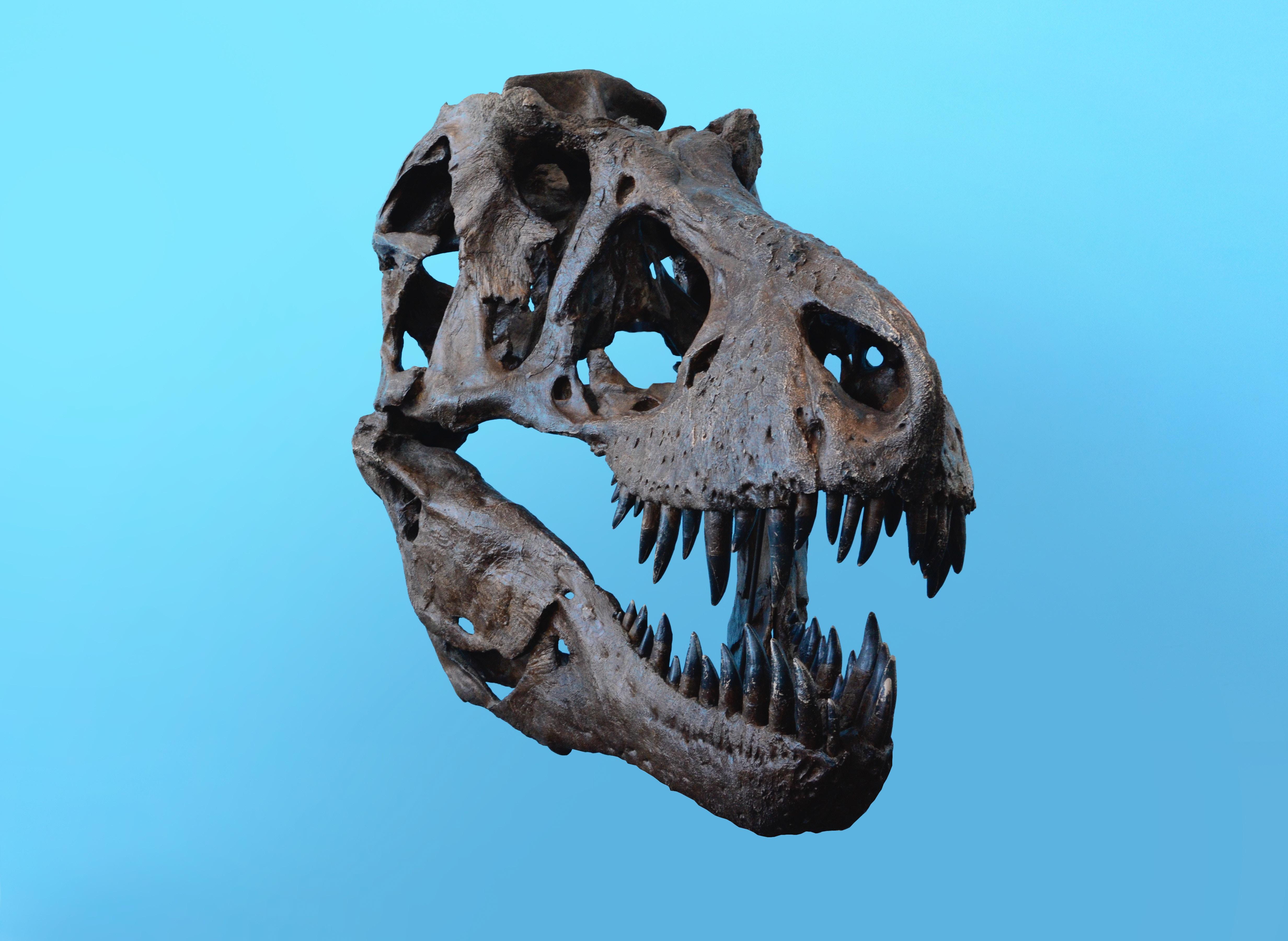 dinosaur skull artifact
