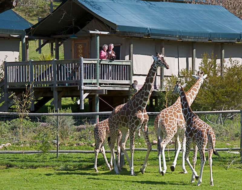 safari west california glamping