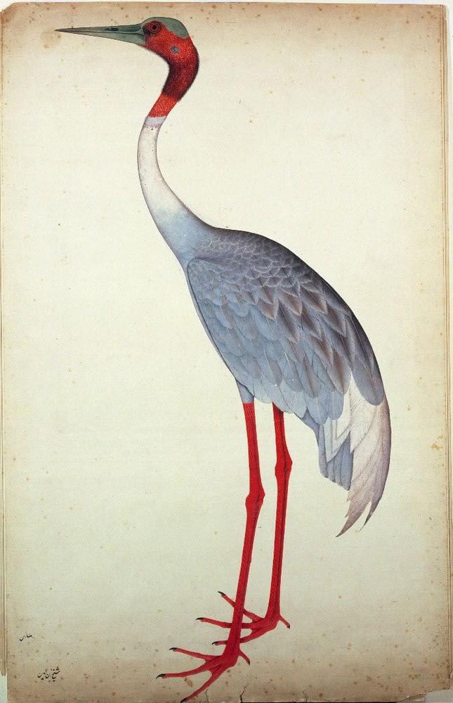 Watercolour painting of a crane with grey-white feathers and pink head and legs, standing in profile facing to the left, against a plain white background