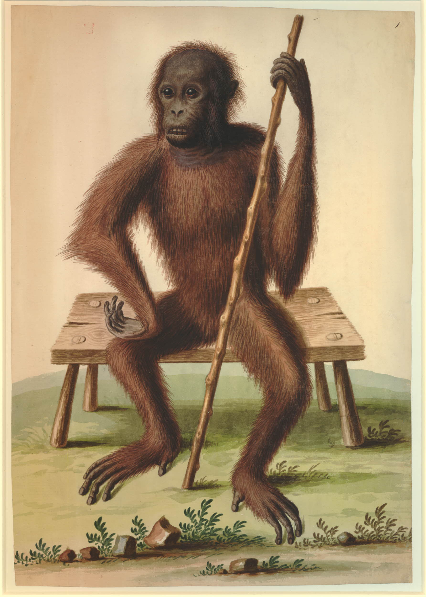 A watercolour painting of an orangutan, seated upright with a stick