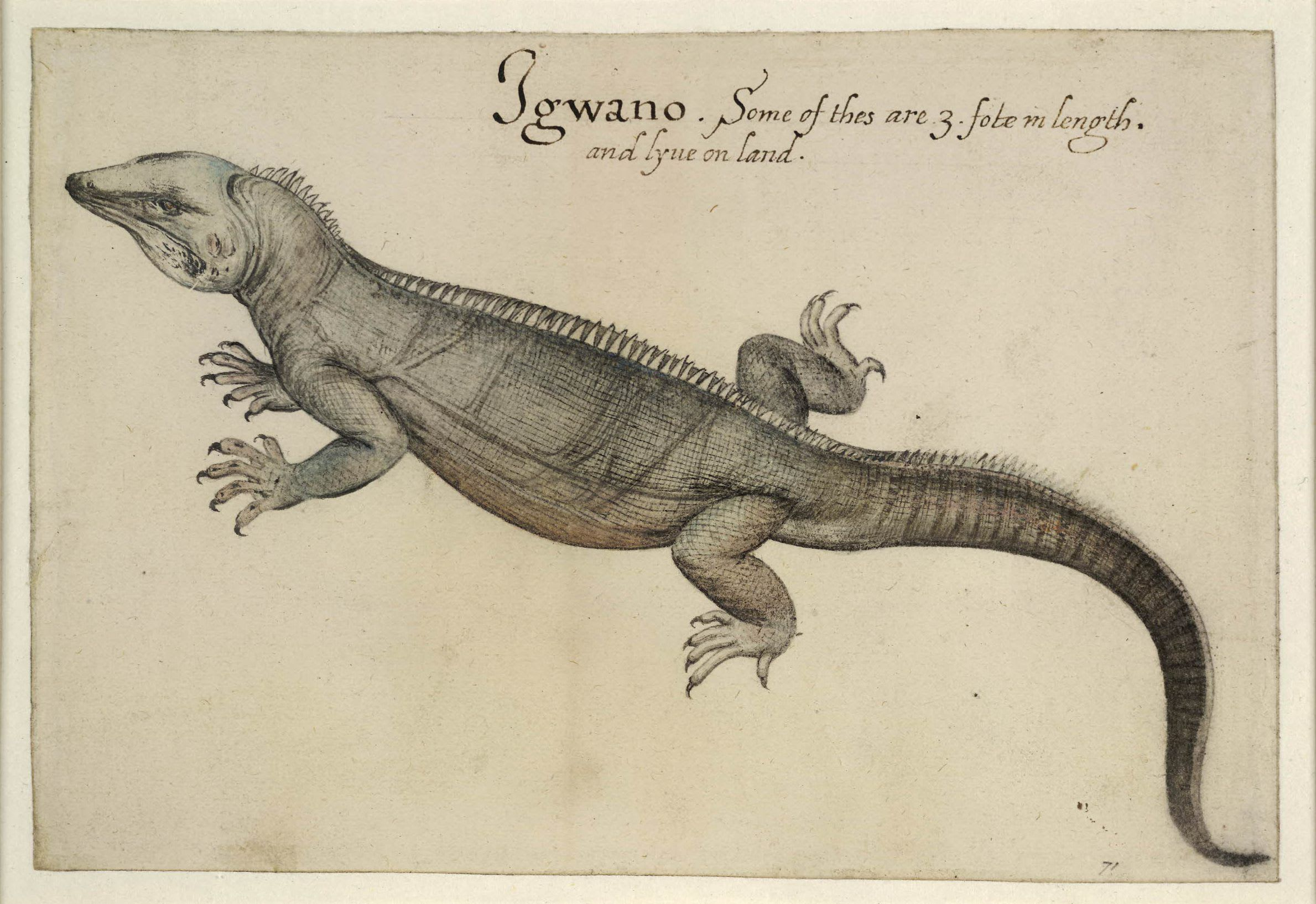 Untitled (Iguana), 1585-1593, John White