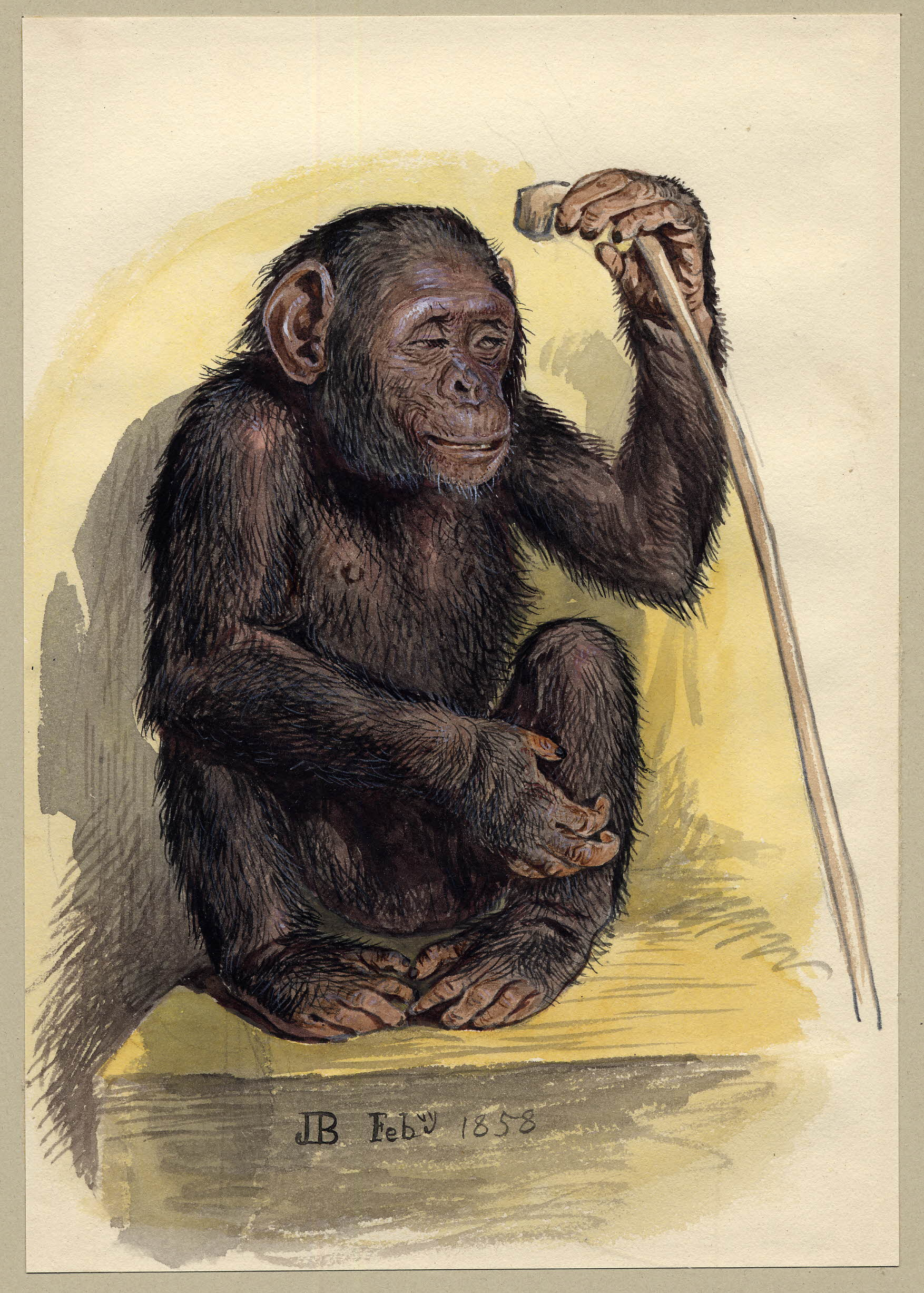 Watercolour painting of a chimpanzee.