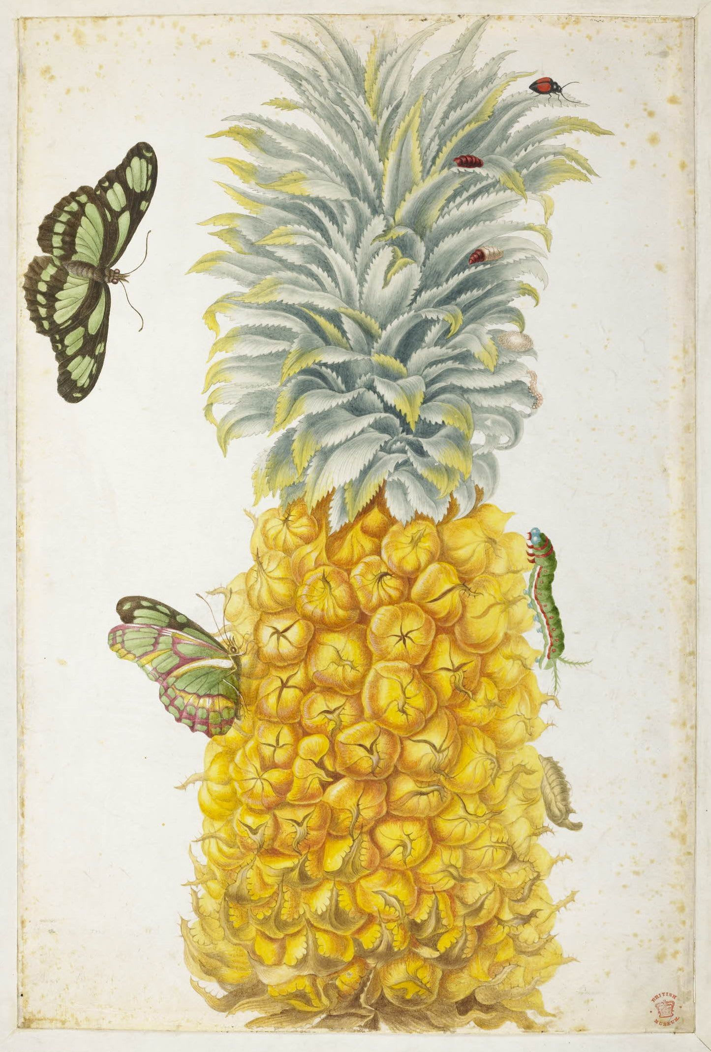 Untitled (Pineapple), c.1701-1705,  Maria Sibylla Merian. © Trustees of the British Museum