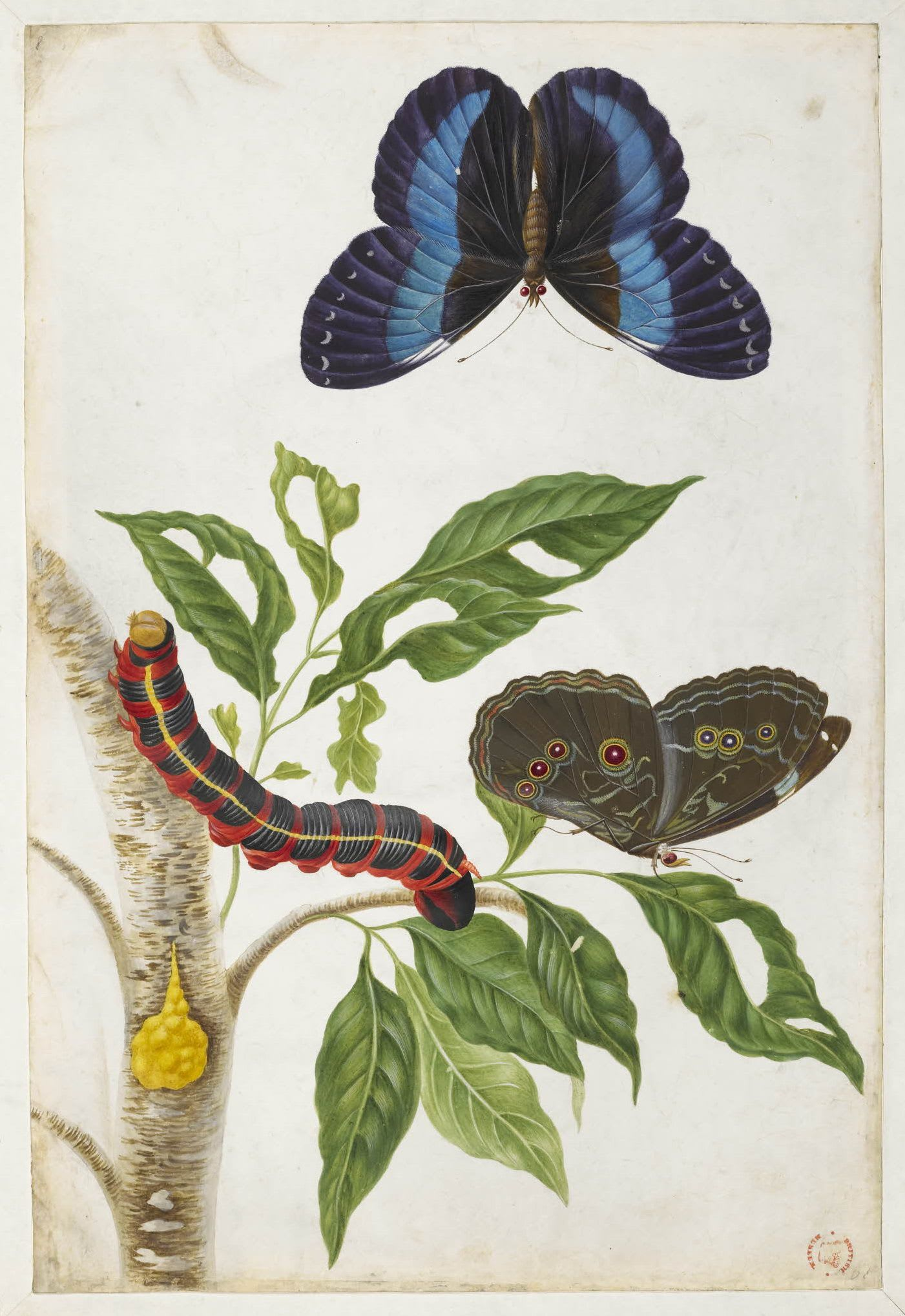 Untitled (Two examples of a blue butterfly), c.1701-1705, Maria Sibylla  Merian. © Trustees of the British Museum