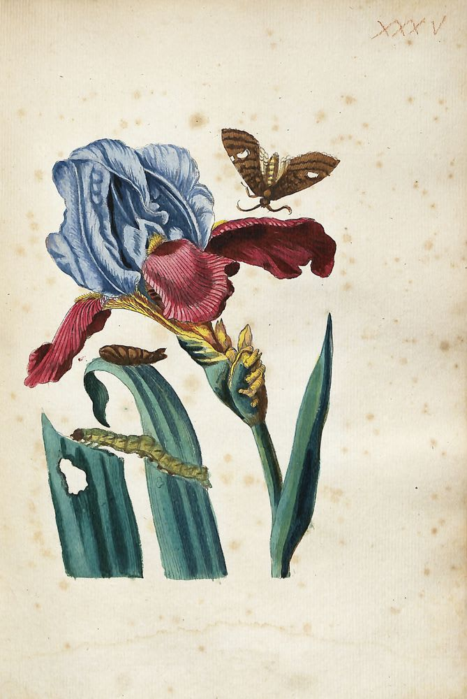 Untitled, From Mariam Sibillam Merian, 'Erucarum Ortus, Alimentum et Paradoxa Metamorphosis', image © Devonshire Collection, Chatsworth. Reproduced by permission of Chatsworth Settlement Trustees.