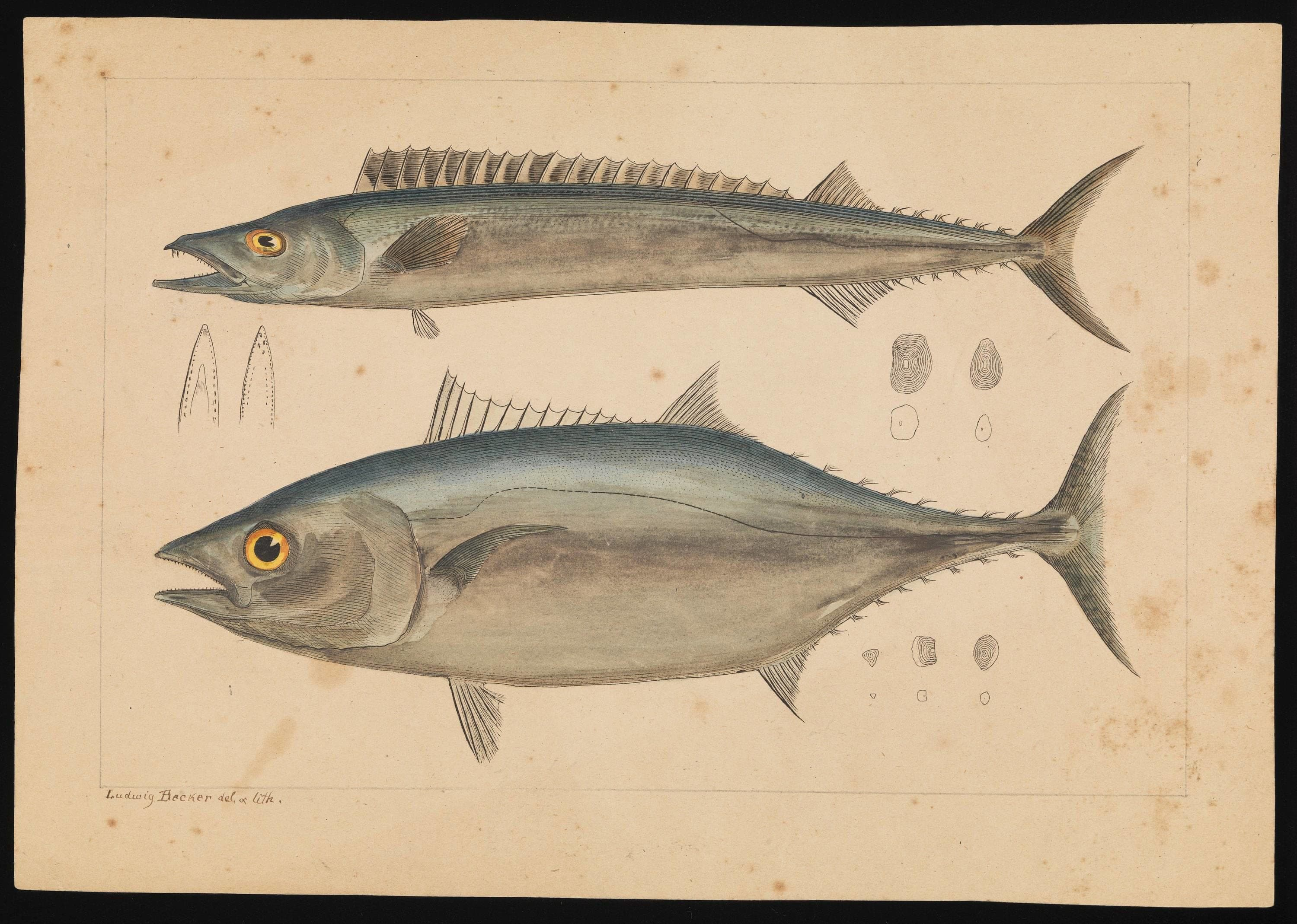 Scientific watercolour painting of two tuna fish.