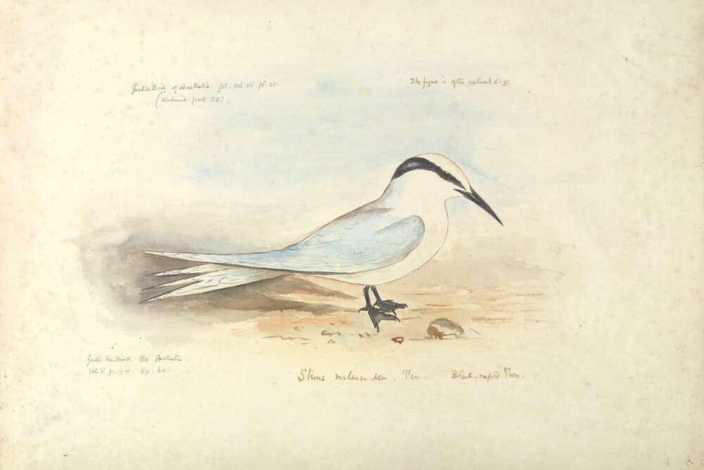 Sterna melanauchen Temm , Black-naped tern | Watercolour World