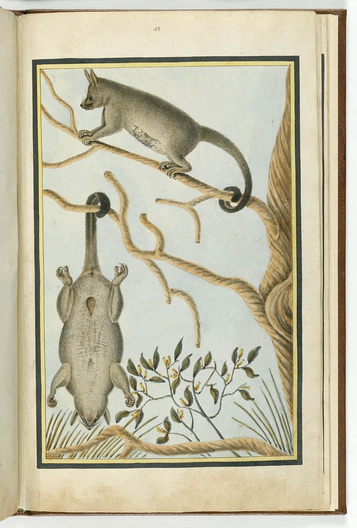 Watercolour painting of two brushtail possums in a tree, one standing on a branch the other hanging from its tail