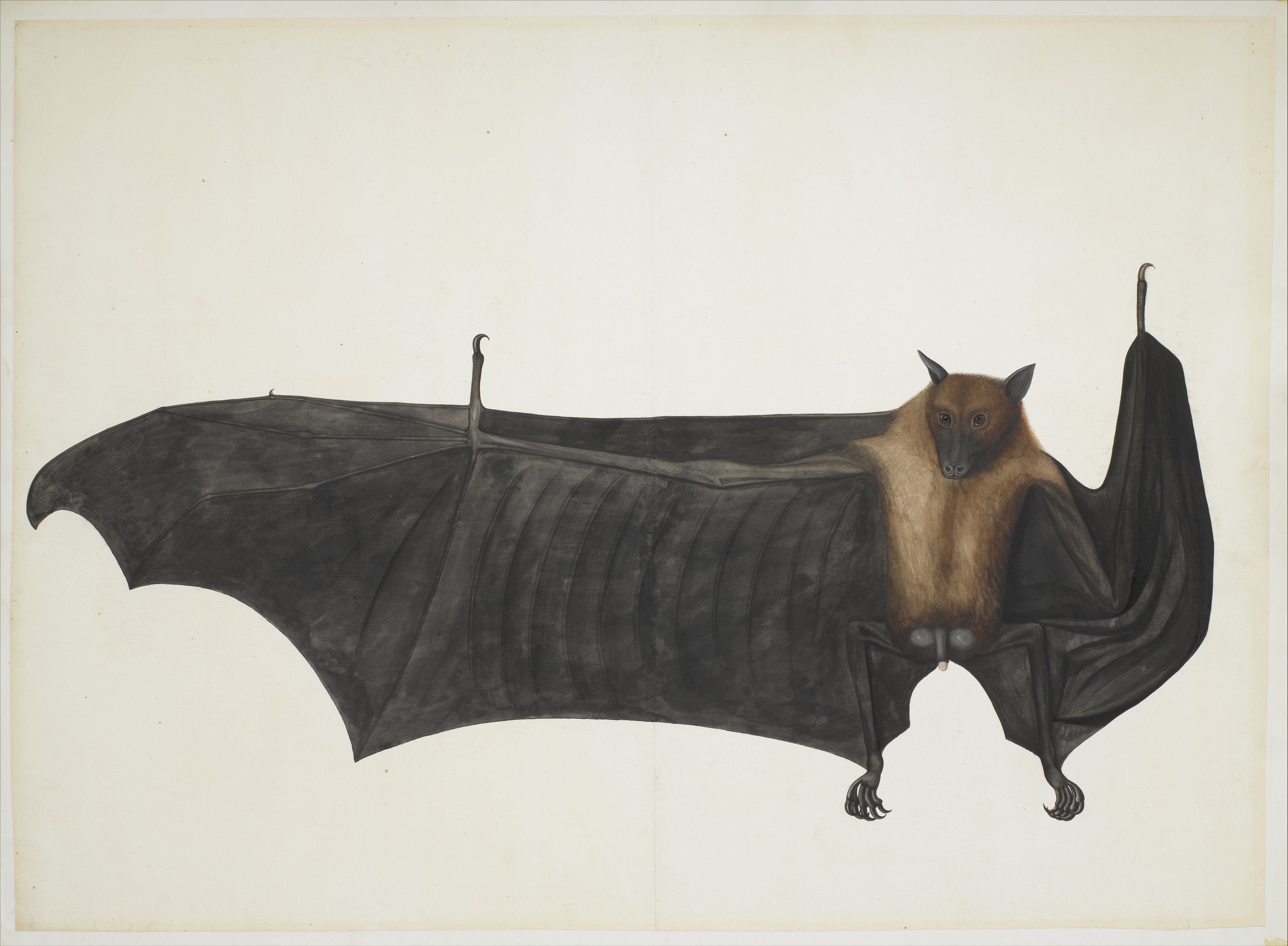 Watercolour painting of a bat, facing the viewer with its right wing extended, against a plain white background