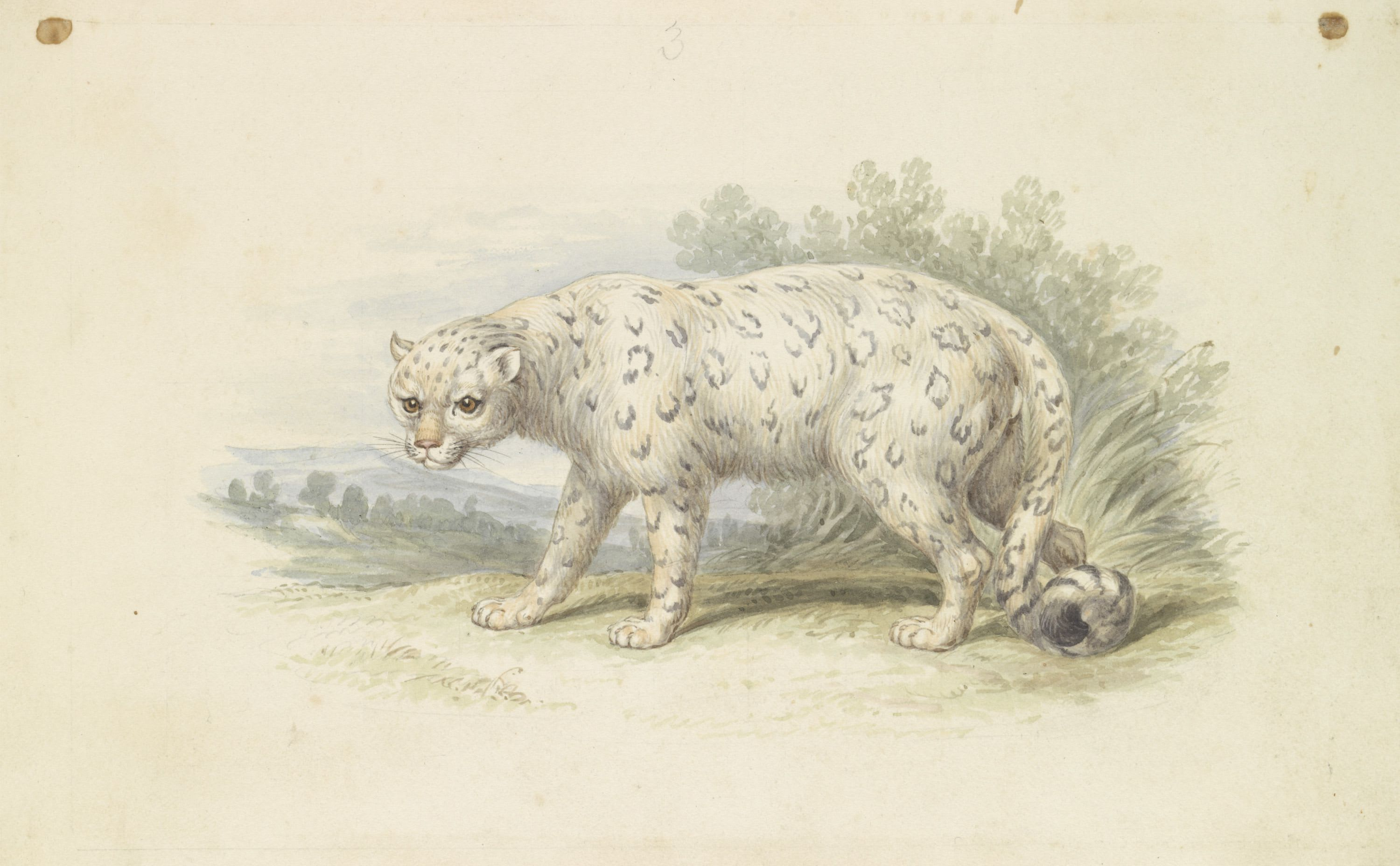 Watercolour painting of a snow leopard with foliage and a hilly landscape behind.