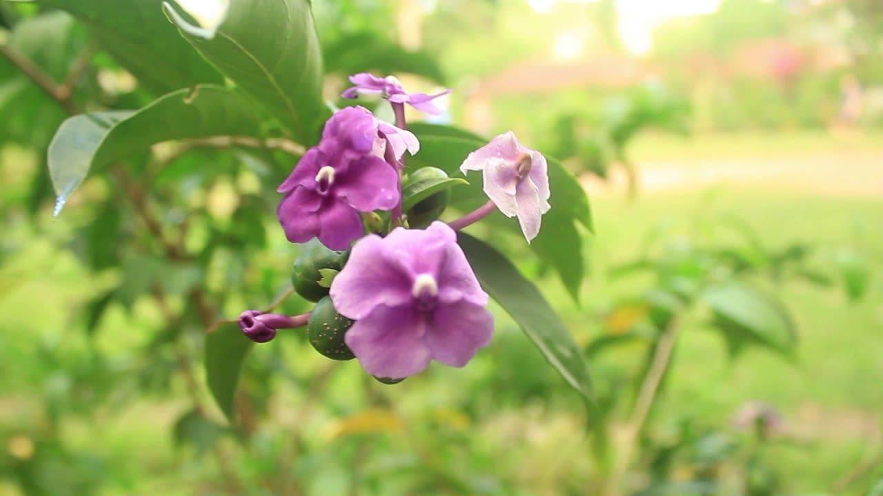 Chiric Sanango (Brunfelsia Grandiflora) - Guía Completa (2020)