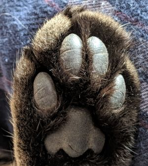 Underneath of a cat's paw
