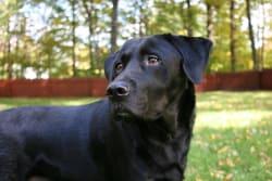 Billede af Labrador retriever