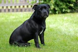 Billede af Staffordshire bull terrier