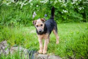 Billede af en Lakeland terrier