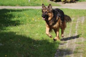 Billede af en Schæferhund, langstockh. m. underuld