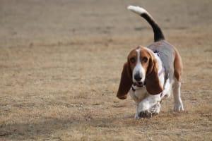 Billede af en Basset hound